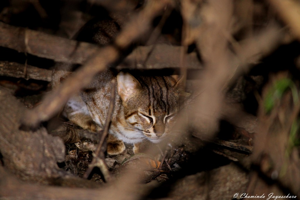 Rusty spotted cat at Jetwing Vil Uyana