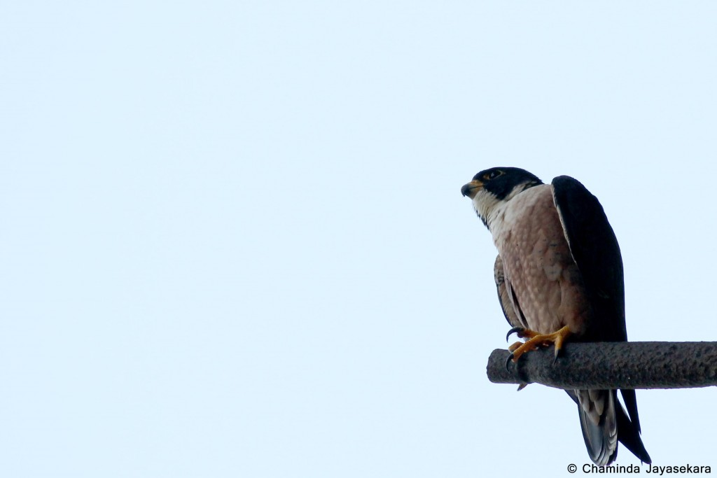 Shaheen falcon on a perch at Sigiriya