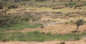 Sri Lanka leopard at Horton Plains National Park