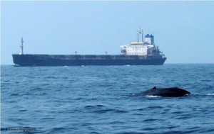 A blue whale traveling along the shipping line - ship strikes and propeller noise can cause stress.