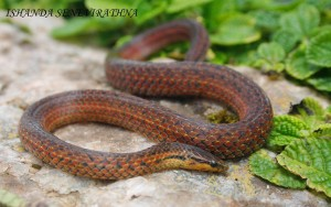 Common rough sided snake