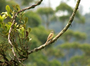 Brown Shrike - Copy