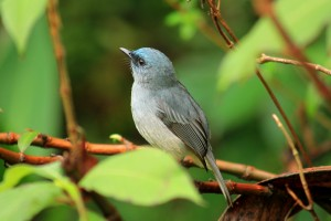 Sri lanka Dusky blue flycatcher (2)